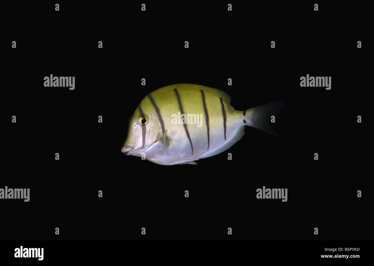 Convict tang, Convict surgeon or Convict surgeonfish (Acanthurus triostegus) Indian Ocean, Hikkaduwa, Sri Lanka, South Asia - Stock Image