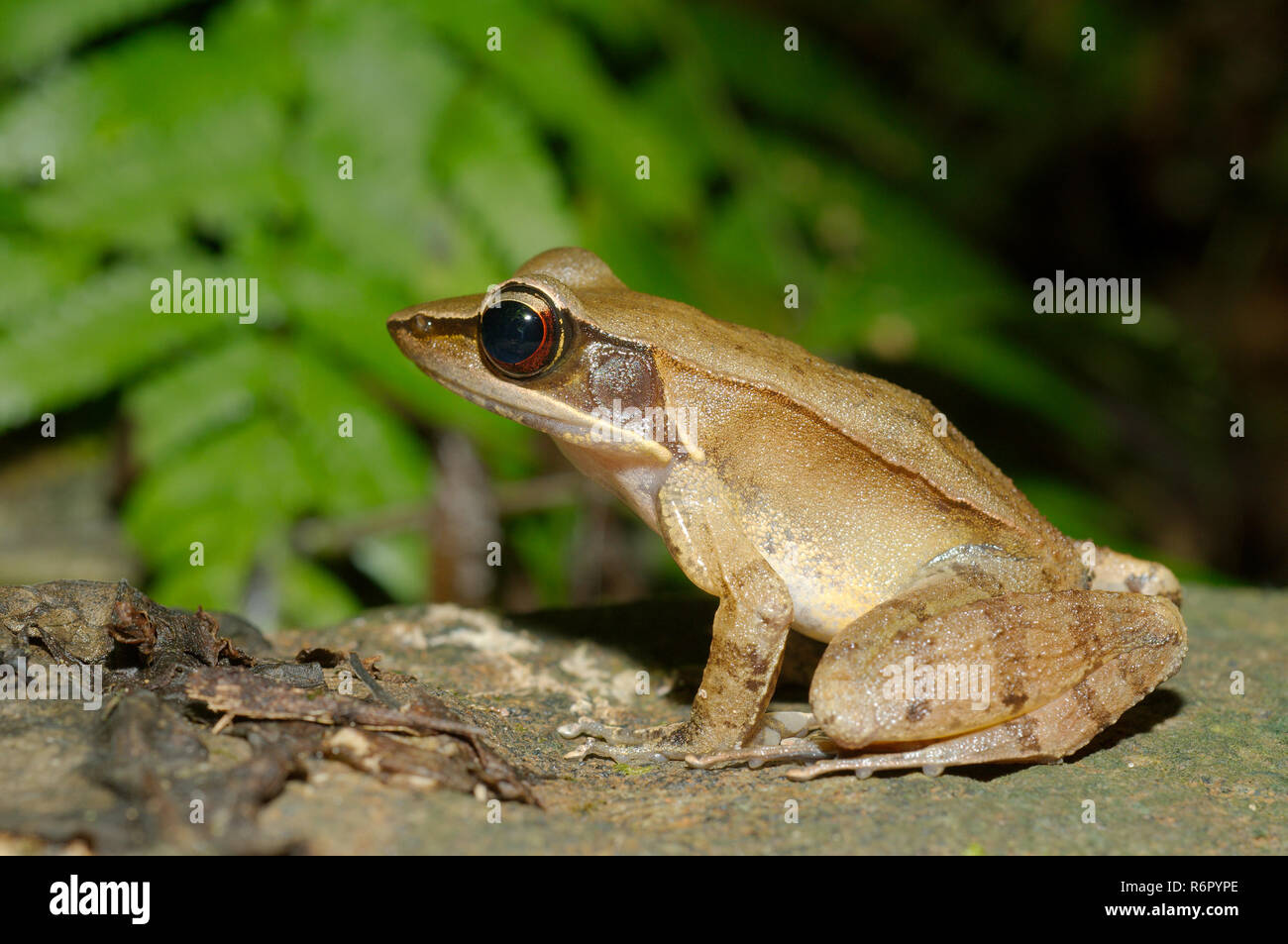 tropical frog (Hylarana Tschudi) sitting on the forest ground, Sinharaja Forest Reserve, national park, Sinharaja, Sri Lanka, South Asia - Stock Image