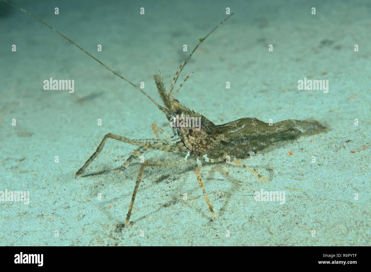 shrimp (Palaemon sp.) Far East, Sea of Japan, Russia Stock Photo