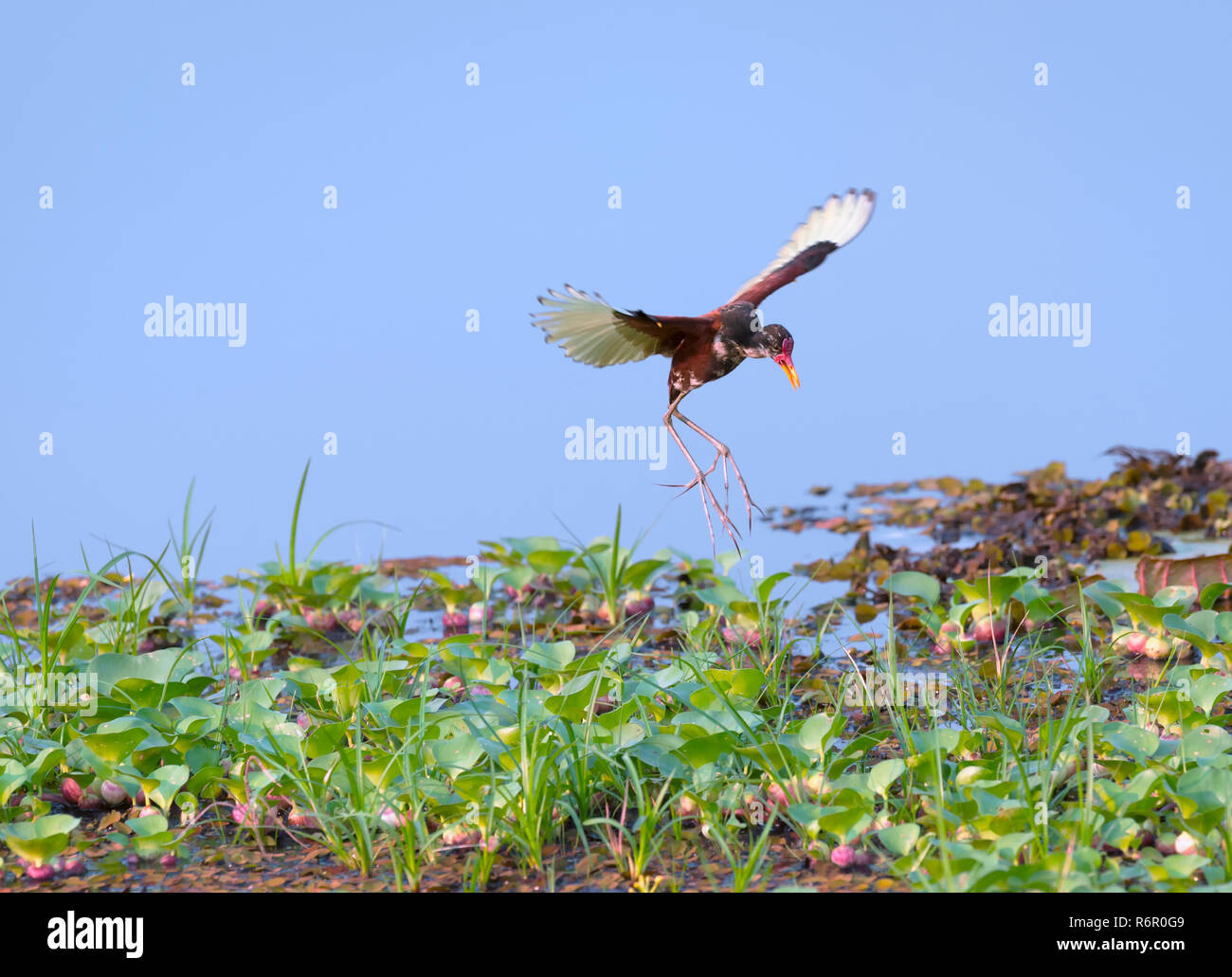 Wattled Jacana (Jacana jacana) in flight, Pantanal, Mato Grosso, Brazil Stock Photo