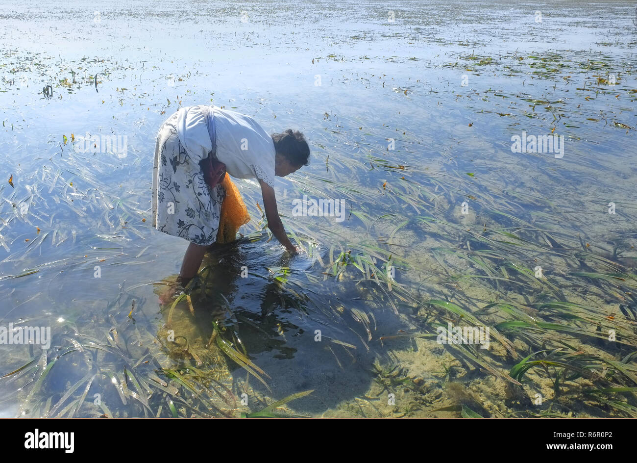 old woman picking seegras - Stock Image