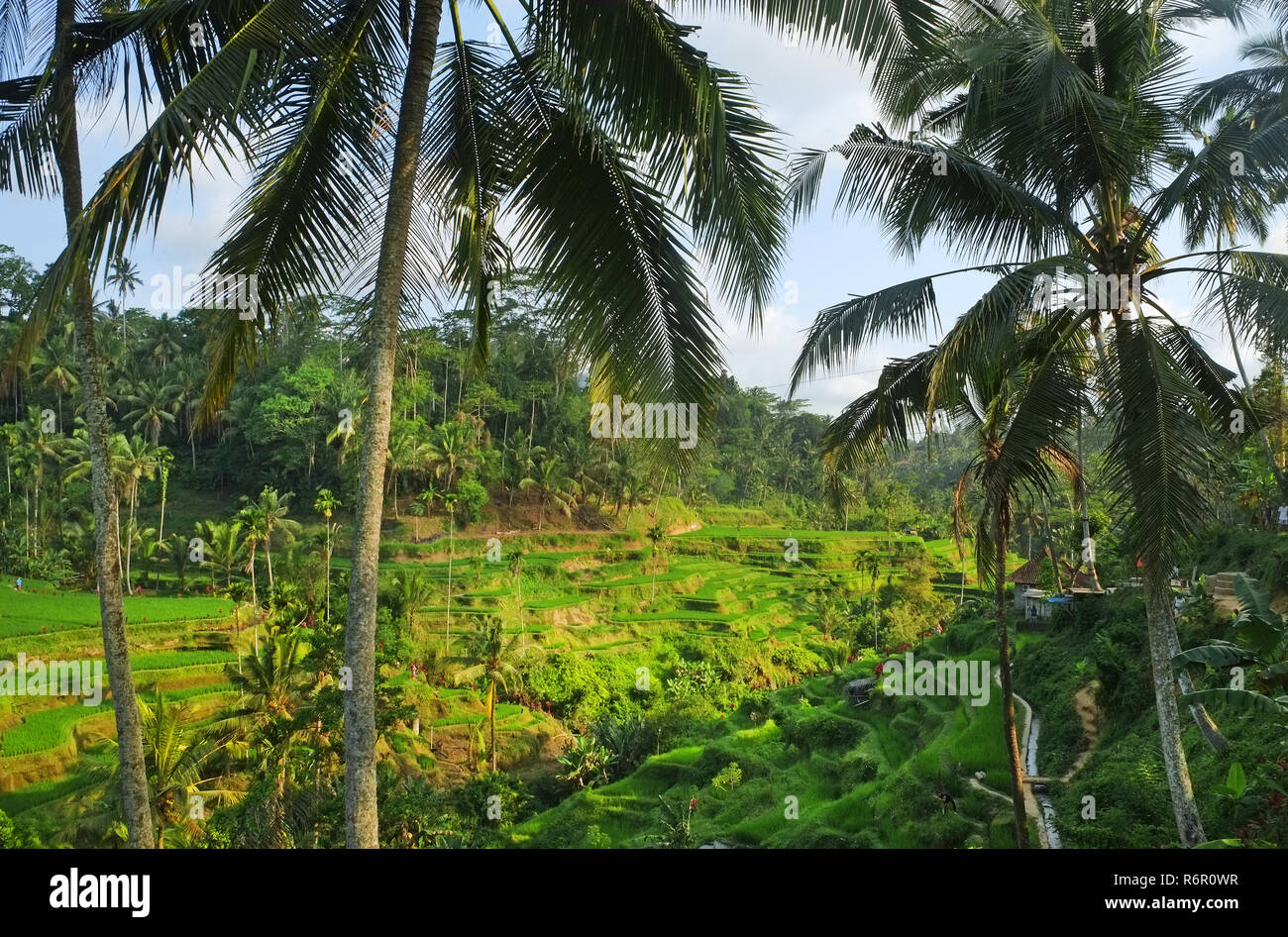 Tegallalang rice terrace - Stock Image