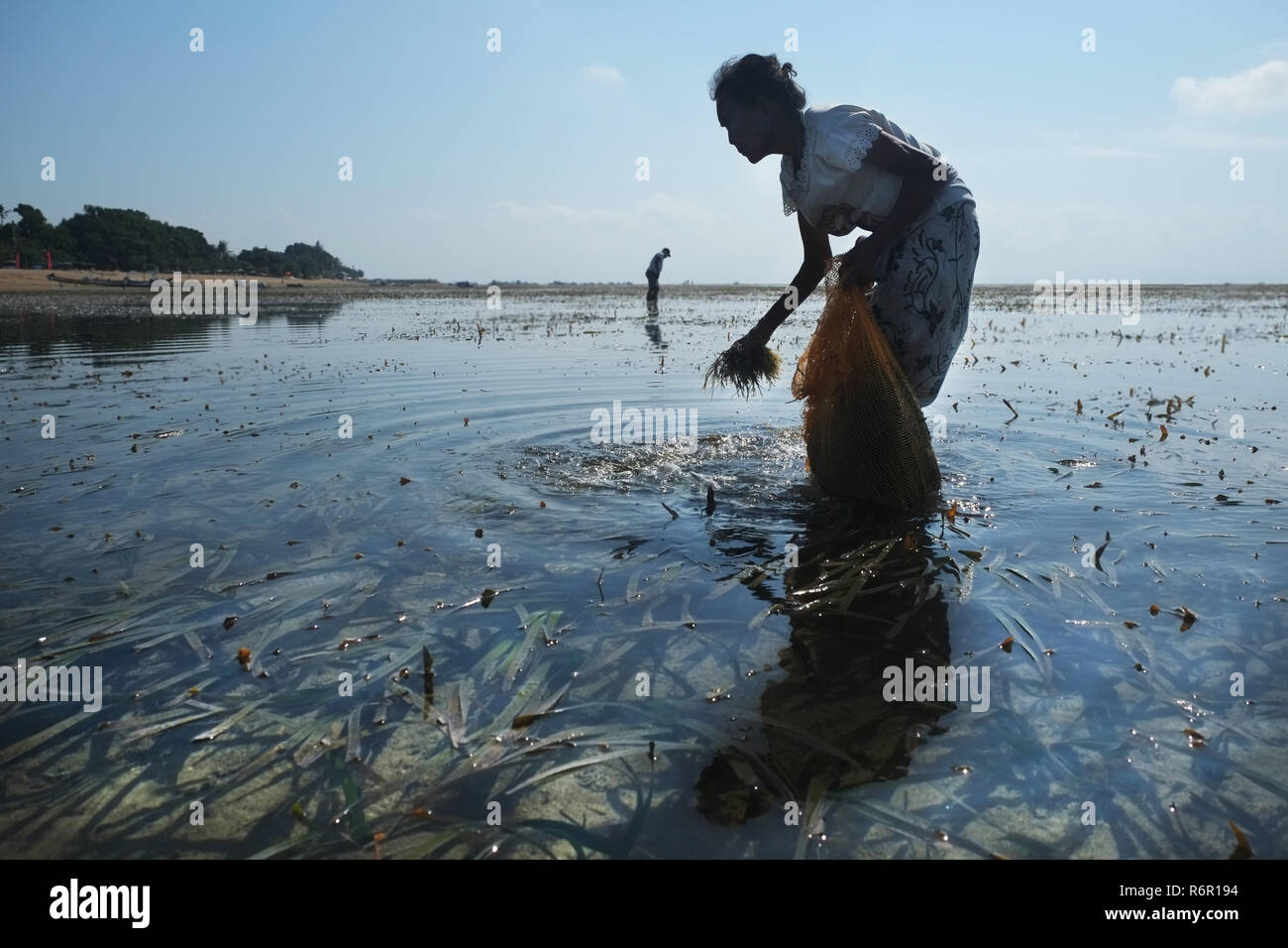 woman picking seagras - Stock Image