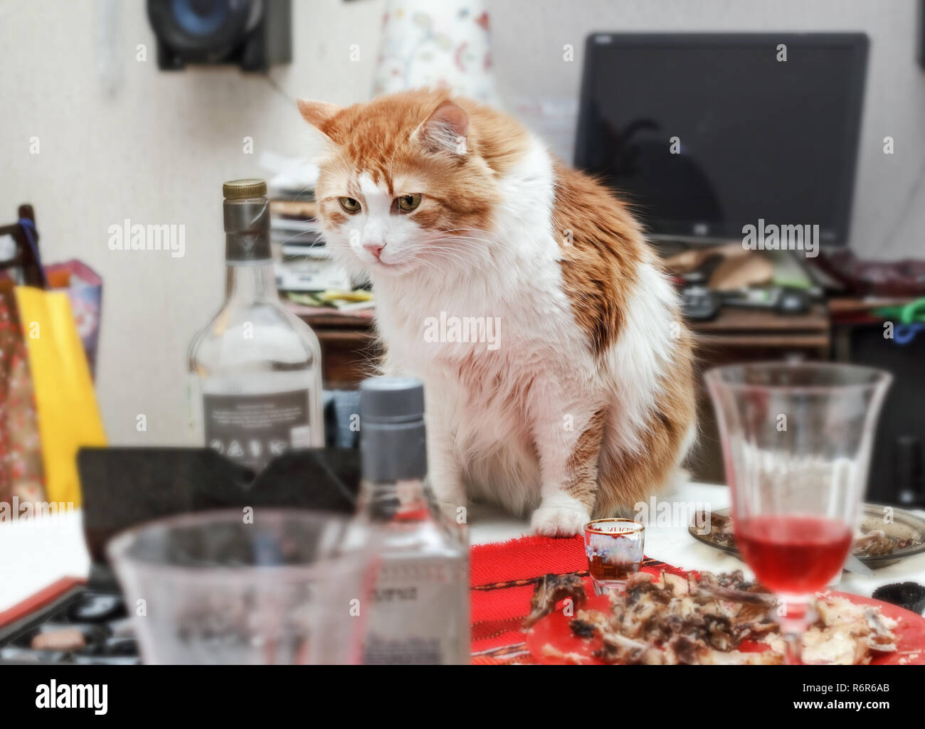 Red adult pretty cat on table with mess after celebration in room - Stock Image