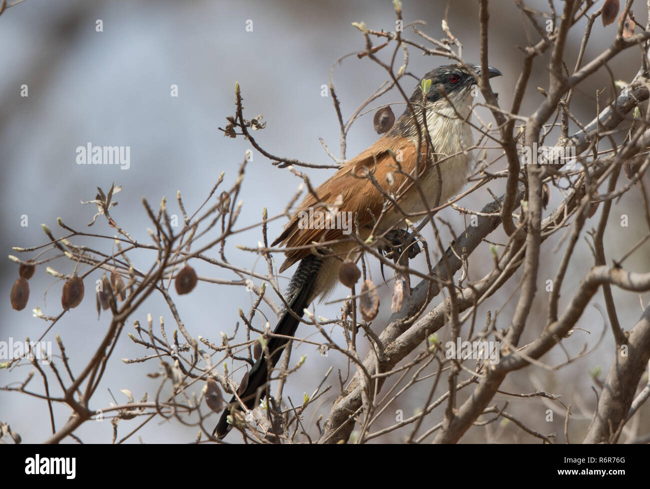 Burchell's Coucal (Centropus burchellii) - Stock Image