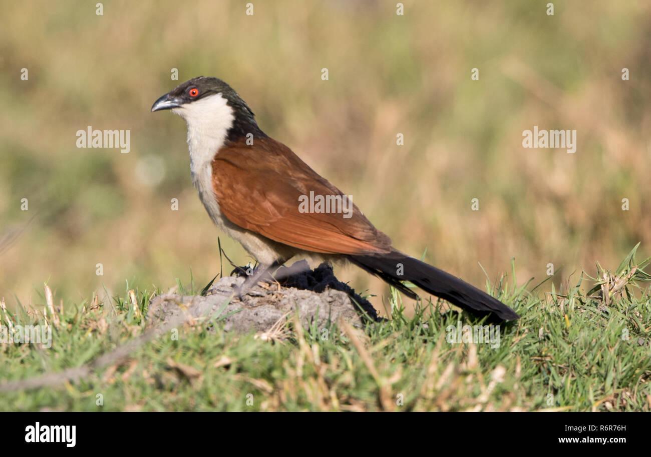 Senegal Coucal (Centropus senegalensis) - Stock Image
