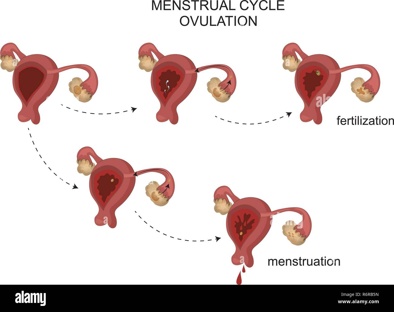 vector illustration of female reproductive organs. Menstrual cycle. - Stock Image
