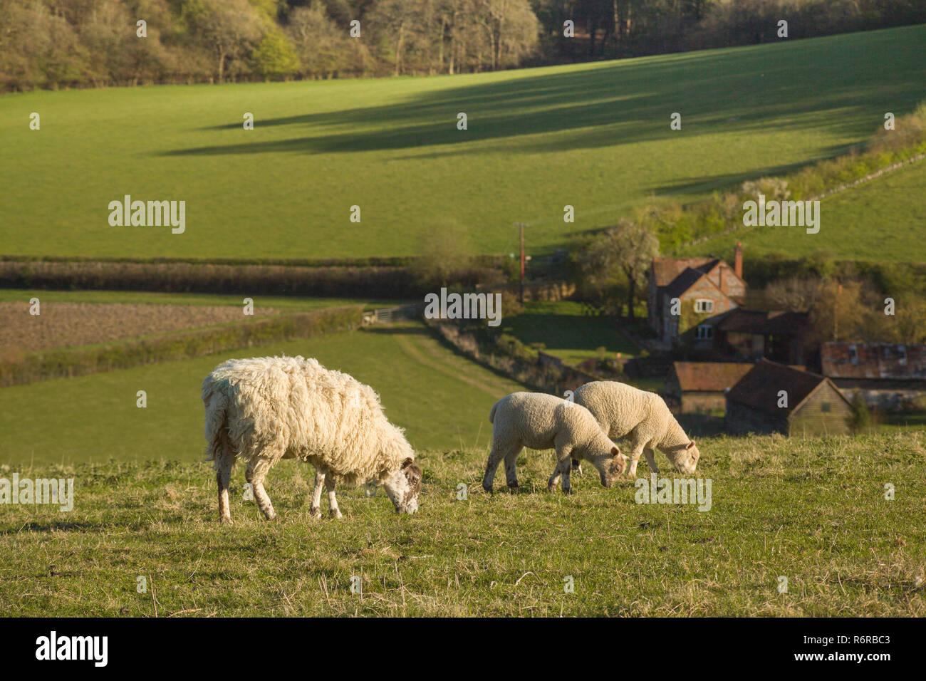 Shhep graze in Springtime above the Chiltern village of Turville, Buckinghamshire Stock Photo