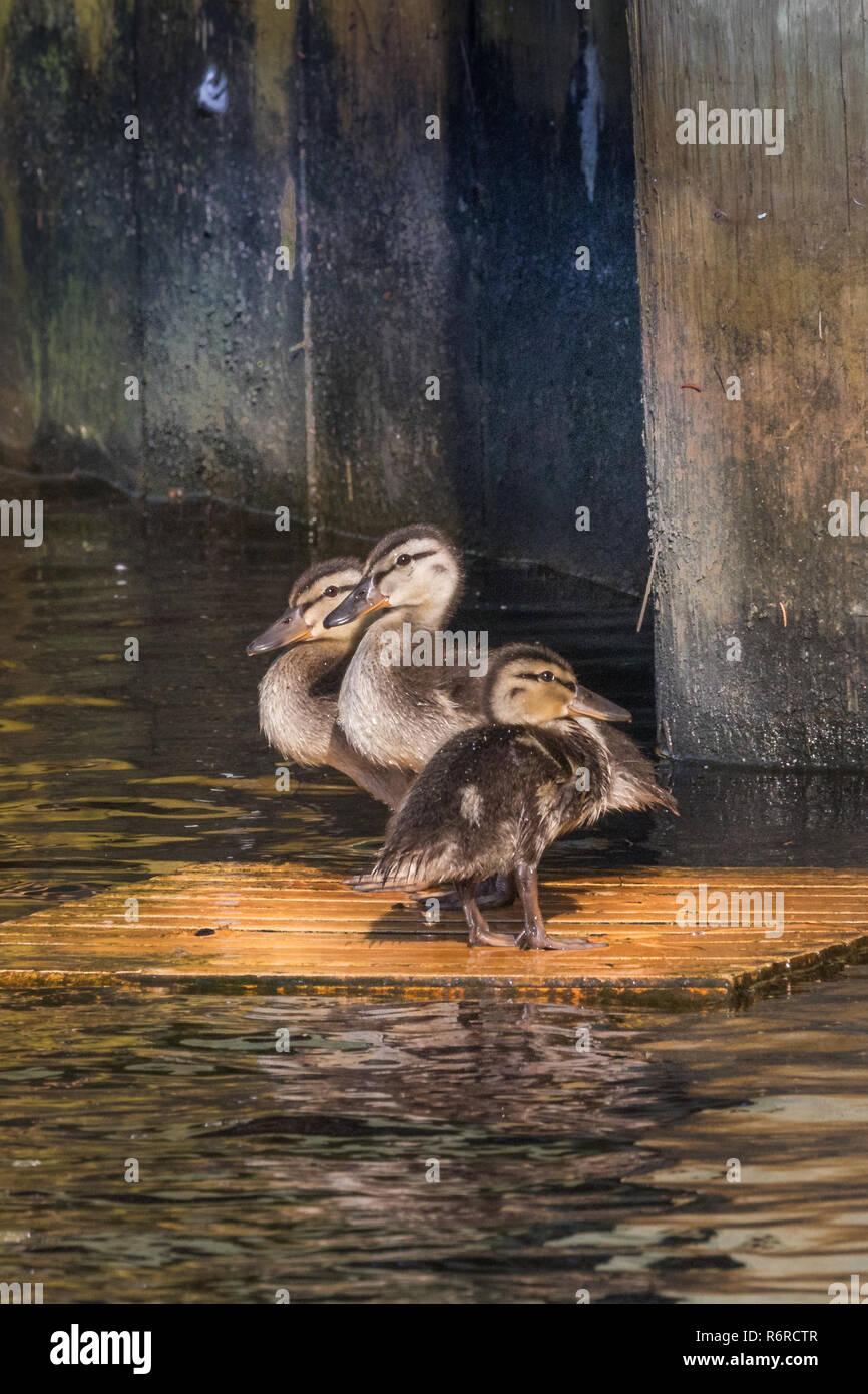 Stranded Mallard Ducklings - Stock Image