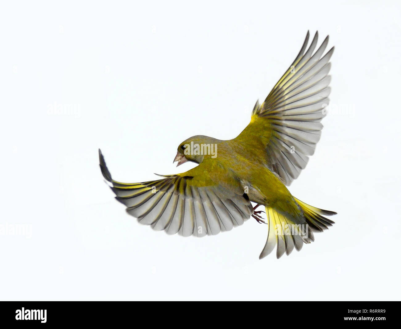 a greenfinch in free flight - Stock Image