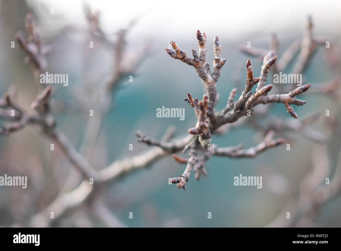 branches of a dry pear tree in a winter cloudy day. Stock Photo
