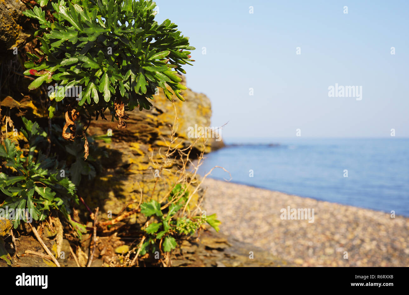 Green plants with leaves close up. Beautiful rocks in the background. Behind the cliffs is a seashore and blue water. The coastal zone in eastern Russ - Stock Image