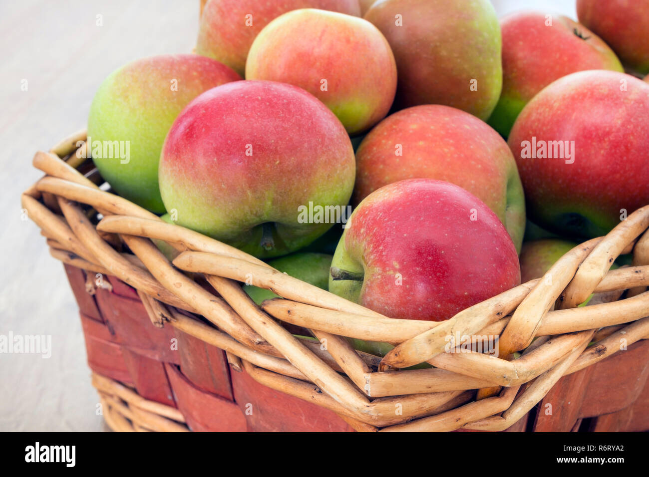A Freshly Picked Basket of Discovery (Malus domestica) Apples. - Stock Image