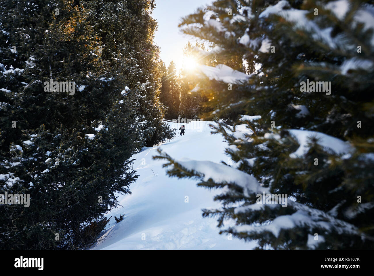 Tourist with backpack in the snowy forest in the mountains - Stock Image