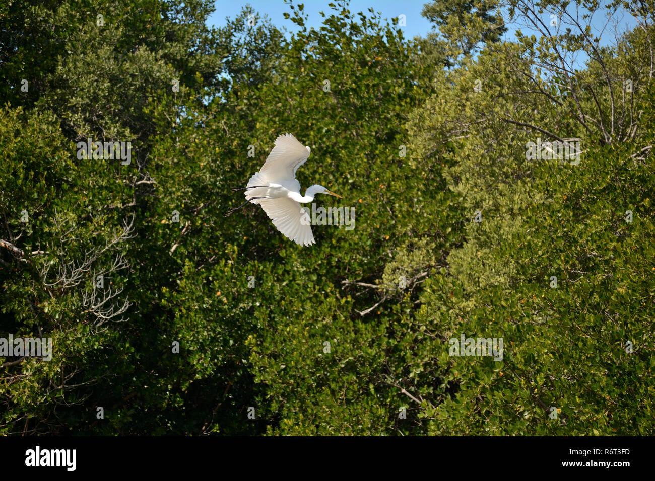 Snowy egret seen flying alongside Wildlife Drive in the J.N. 'Ding' Darling Wildlife Refuge on Sanibel Island, Florida US. - Stock Image