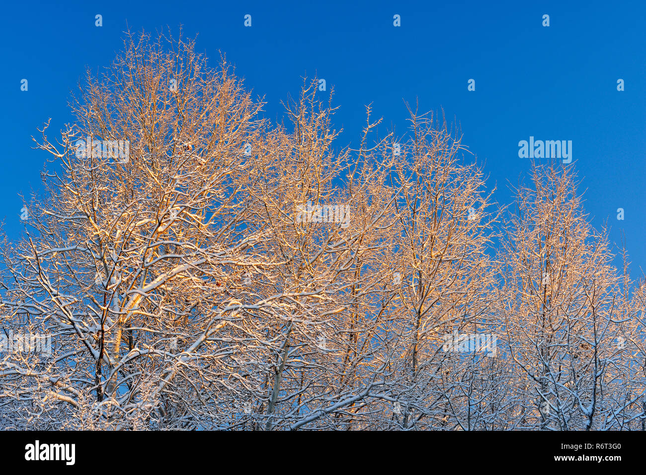 Snow-dusted trees in early morning, Greater Sudbury, Ontario, Canada - Stock Image