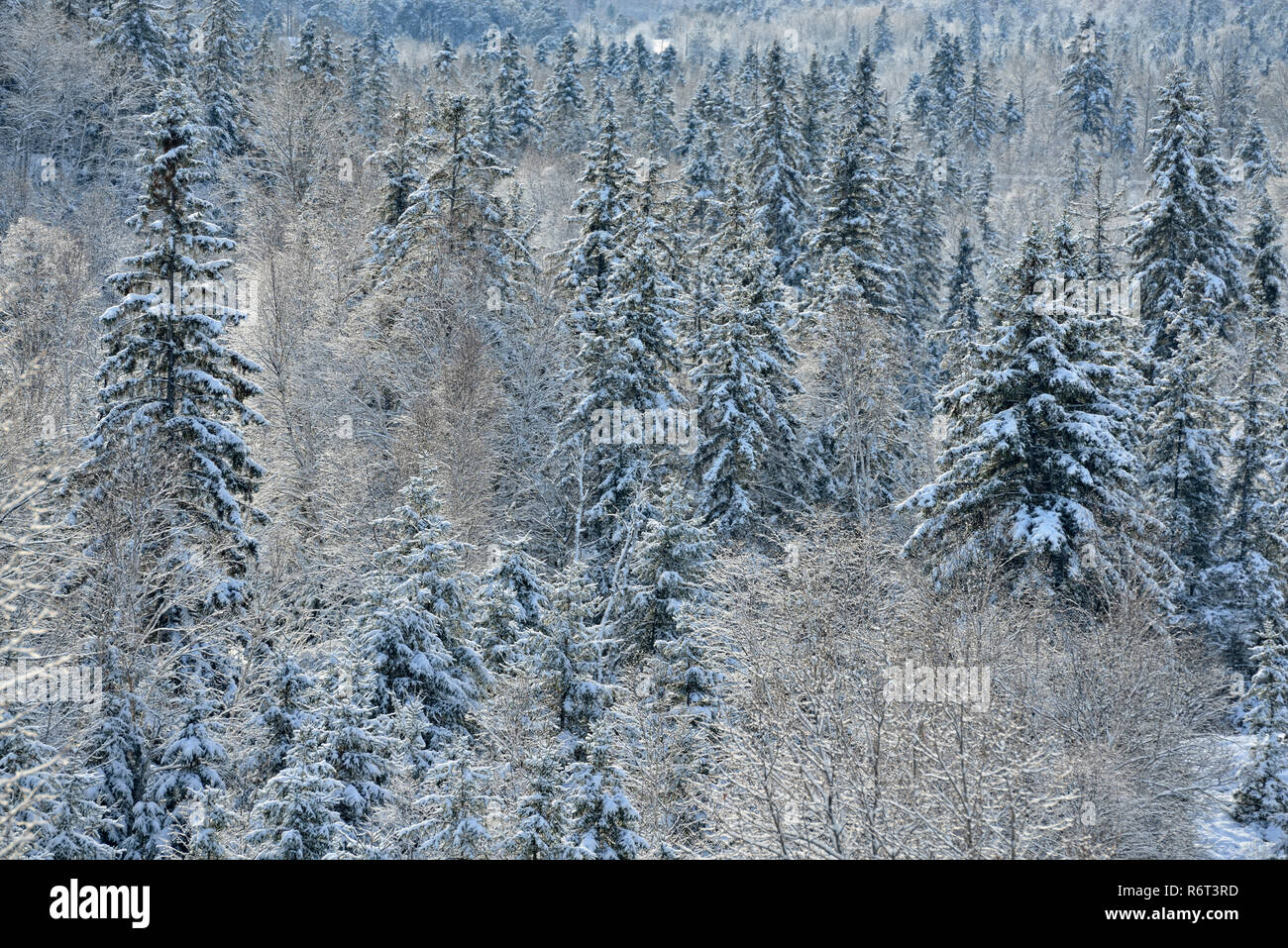 Snow-dusted trees in early winter, Greater Sudbury, Ontario, Canada - Stock Image