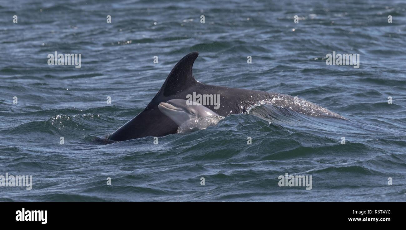 Bottlenose dolphin newborn calf - Stock Image