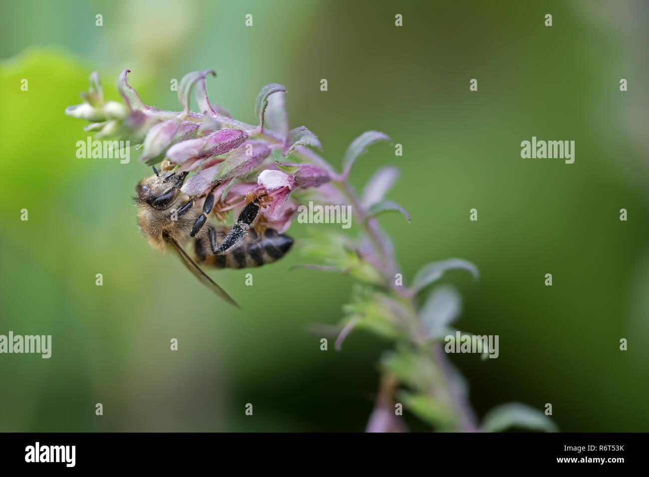 honeybee collecting nectar macrophotography - Stock Image