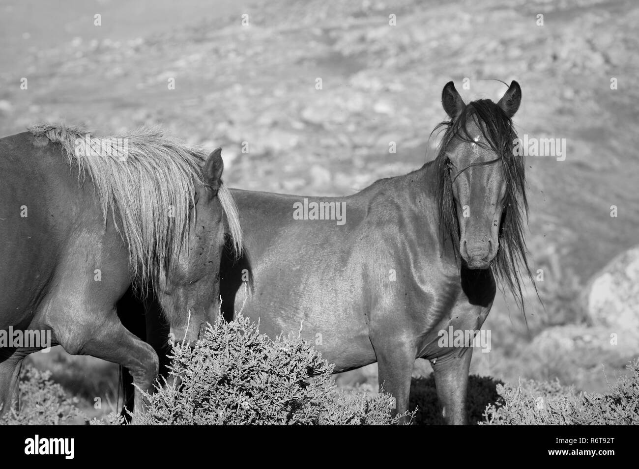 Young semi-wild horses in a mountain in the north of Portugal. - Stock Image