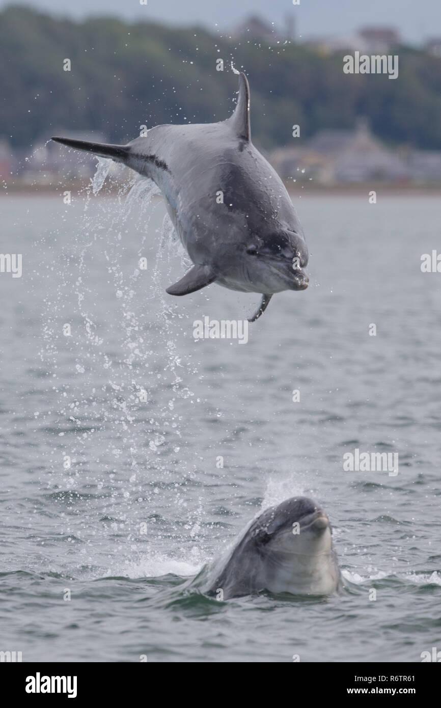 Bottlenose dolphin breaching Stock Photo
