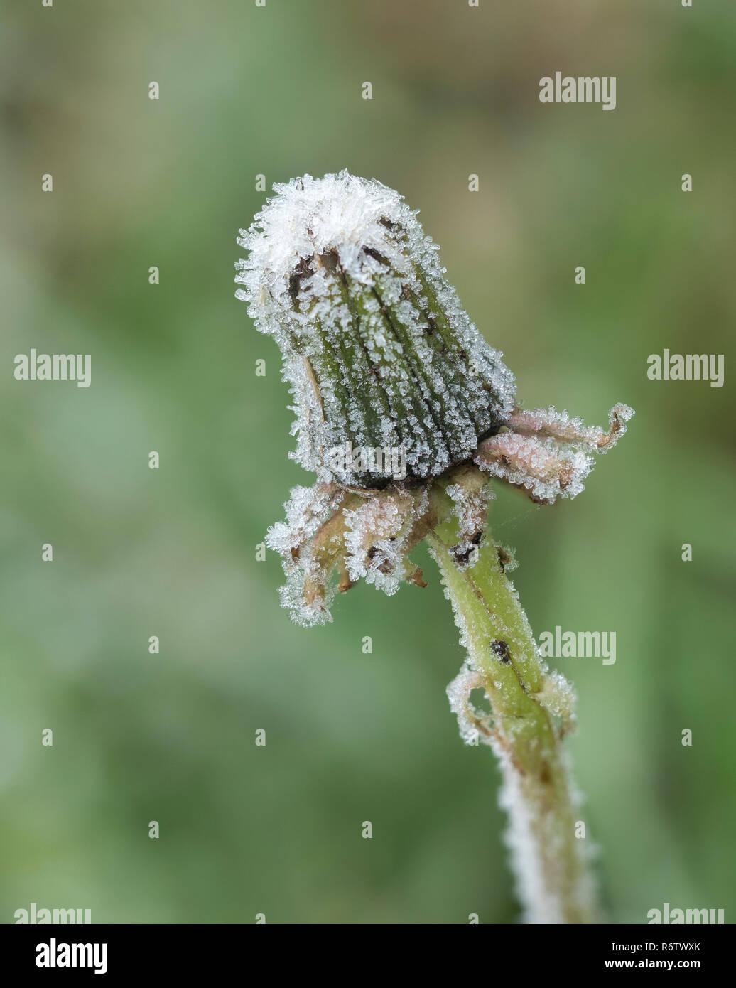 Hoar frost on Dandelion flower head (Taraxacum vulgaria) . Tipperary, Ireland Stock Photo