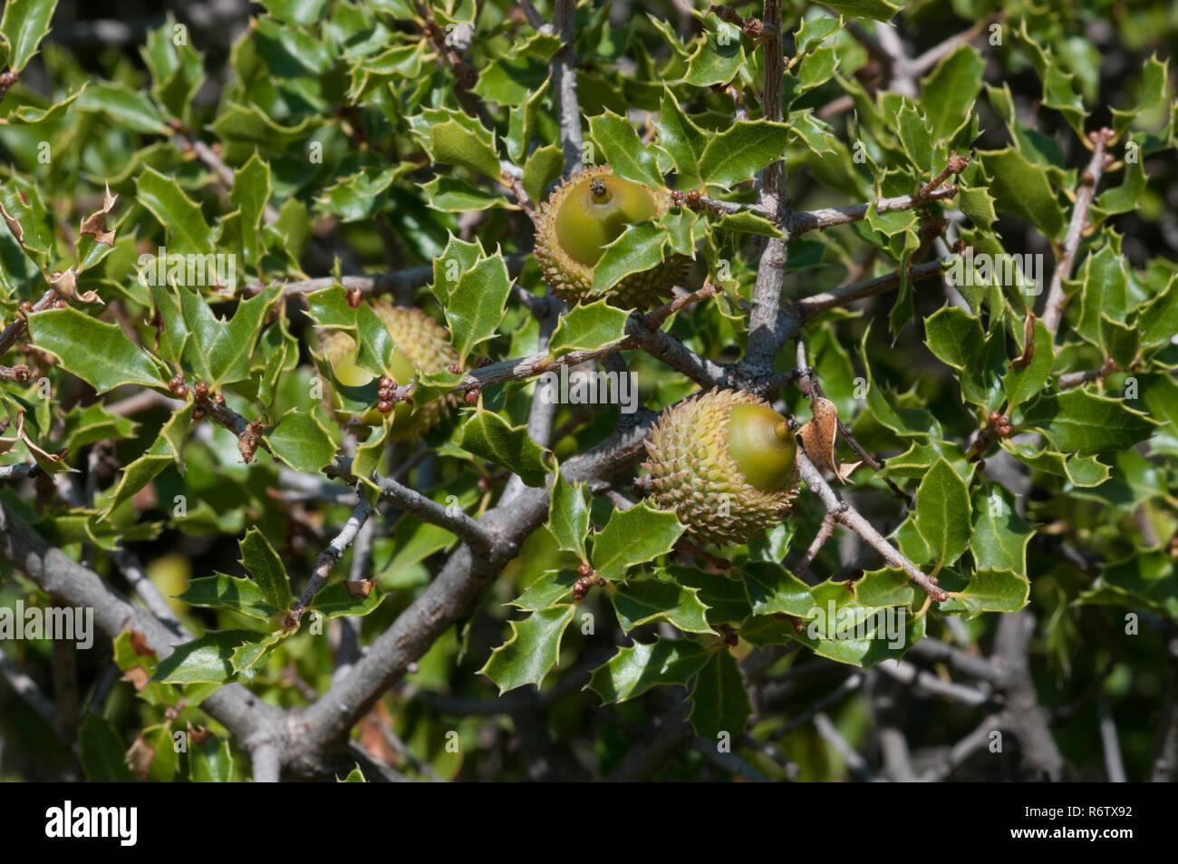 Kermes Oak (Quercus coccifera) in mediterranean macchia, Spain - Stock Image