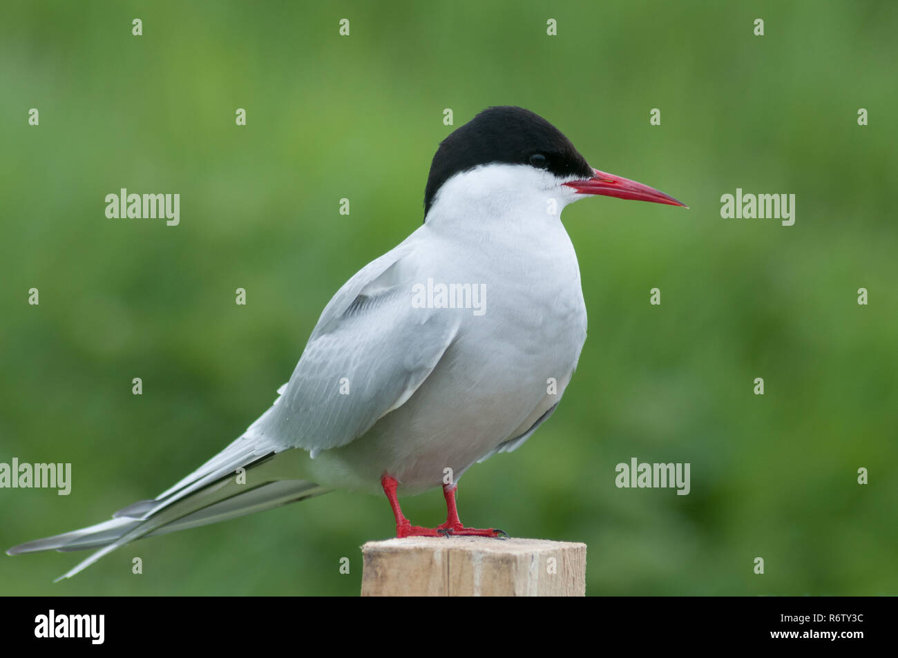Arctic tern sitting on a fence post on the Farne Islands, Northumberland, England - Stock Image