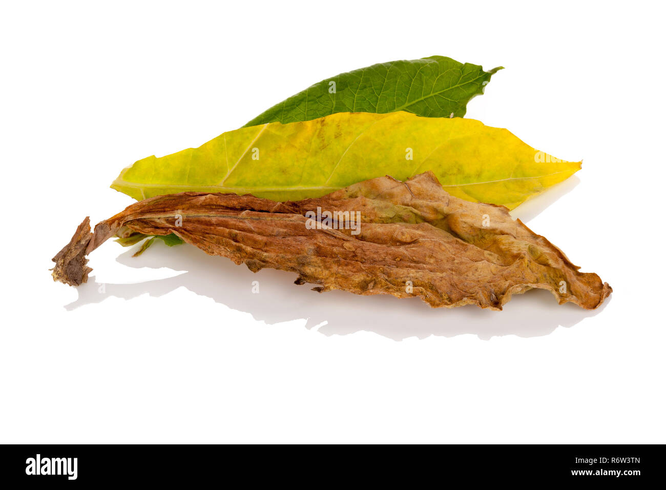 Fresh and dried tobacco leaves from above - Stock Image