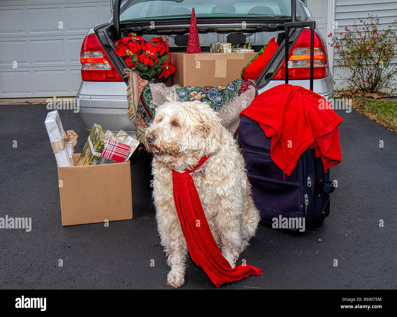 Trunk of car packed for traveling over the Christmas Holidays.   Filled with luggage,gifts, poinsettias and more.  Large white dog waits patiently. - Stock Image