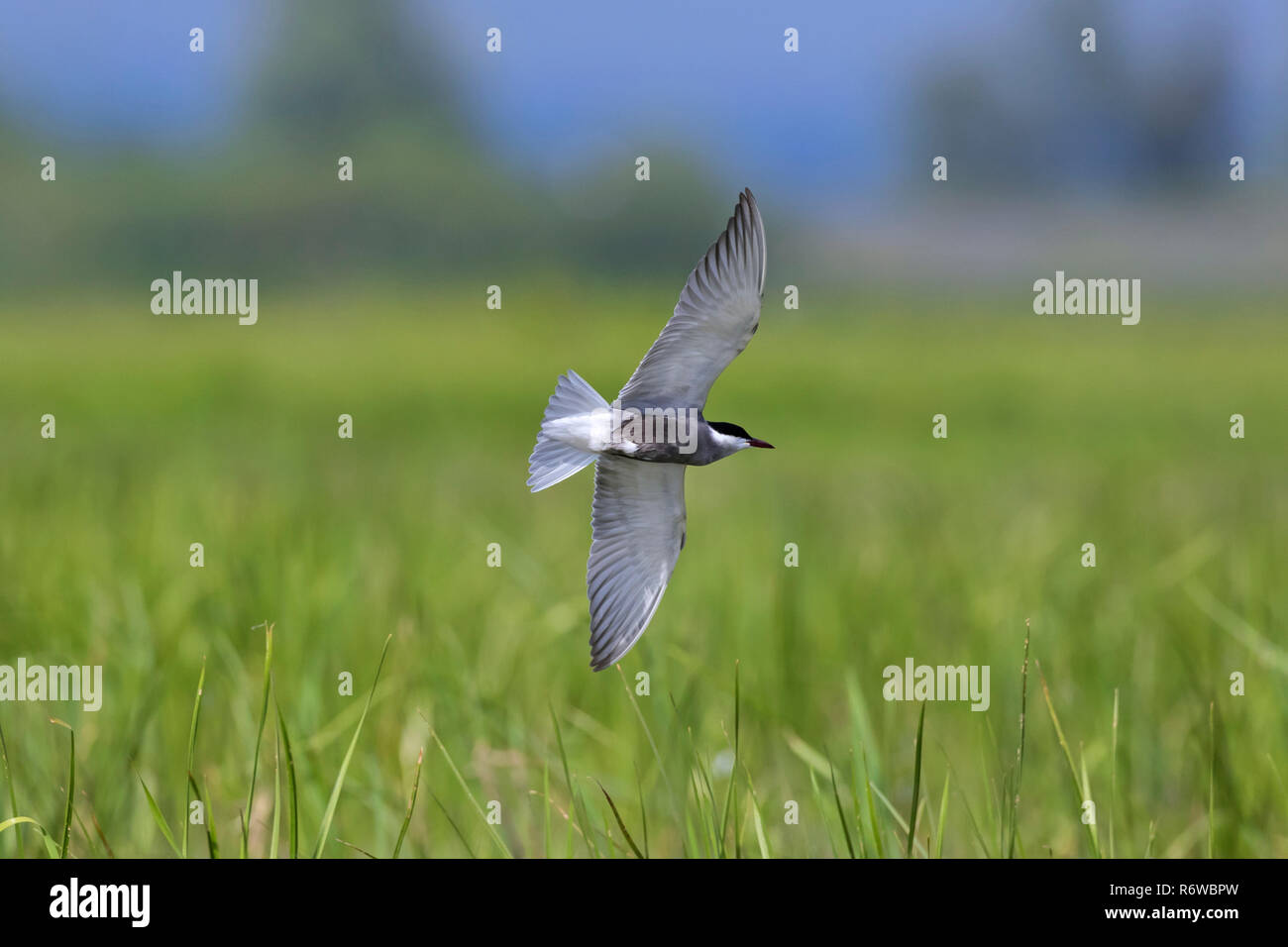 Whiskered tern (Chlidonias hybrida / Chlidonias hybridus) flying over wetland, migratory bird breeding on inland lakes, marshes and rivers in Europe Stock Photo