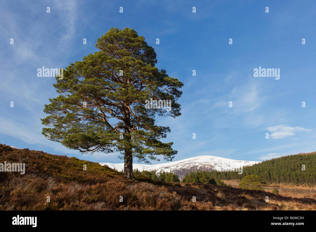 Solitary native Scots pine (Pinus sylvestris) in Glen Affric in winter, Inverness-shire, Scottish Highlands, Highland, Scotland, UK - Stock Image