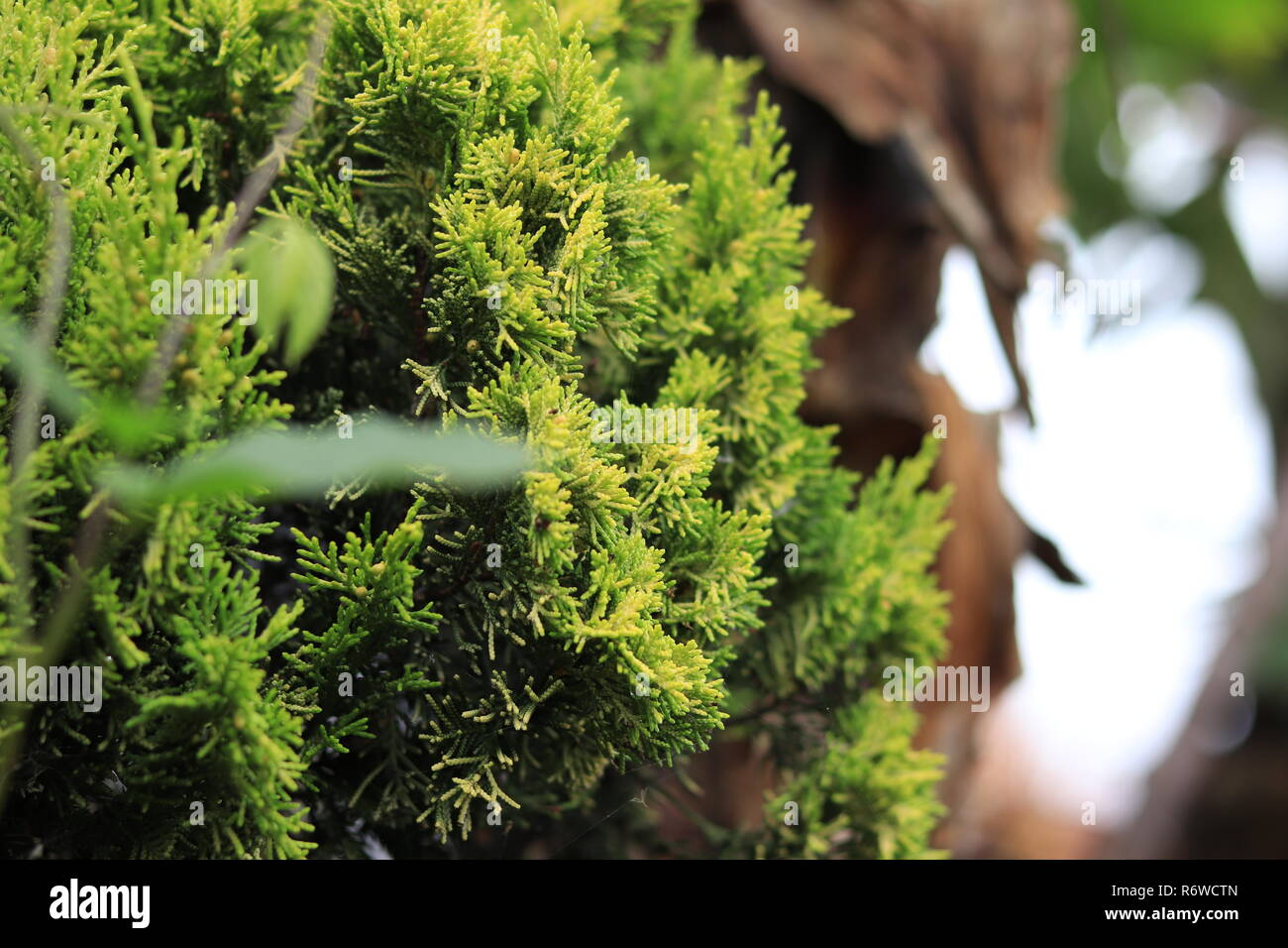 Casuarina tree - Stock Image