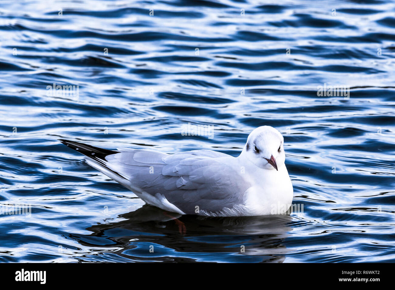 Swimming common gull in Bedfont Lakes Country Park, London - Stock Image