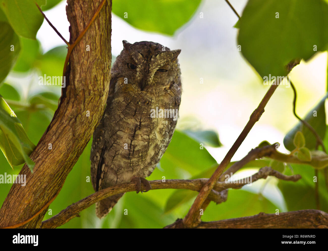 The African Scops Owl is a widespread resident that set up territory in woodlands and riverine and their distinctive metronome hoot is a signature sou - Stock Image