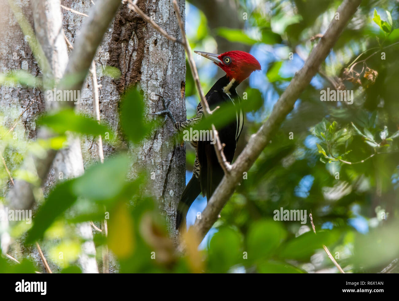 A Bright Red Crested Male Pale-billed Woodpecker (Campephilus guatemalensis) Foraging for Food on a Tree in Punta de Mita, Nayarit, Mexico - Stock Image
