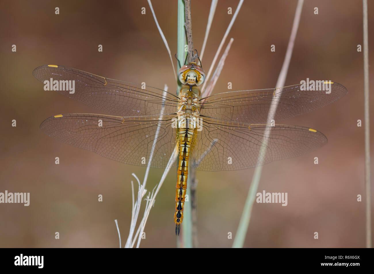 Wandering Glider, Pantala flavescens - Stock Image