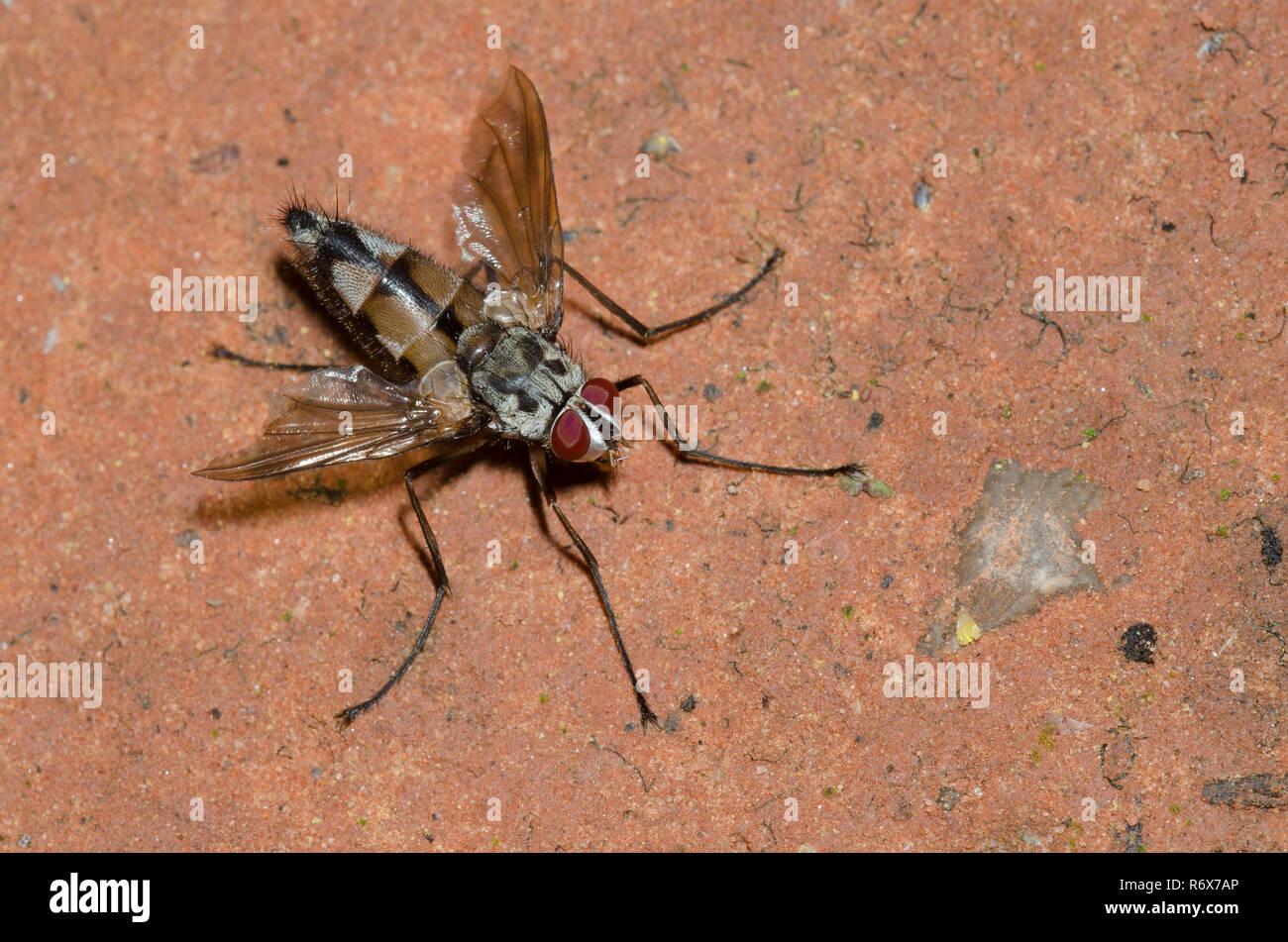 Tachinid Fly, Zelia sp., male Stock Photo