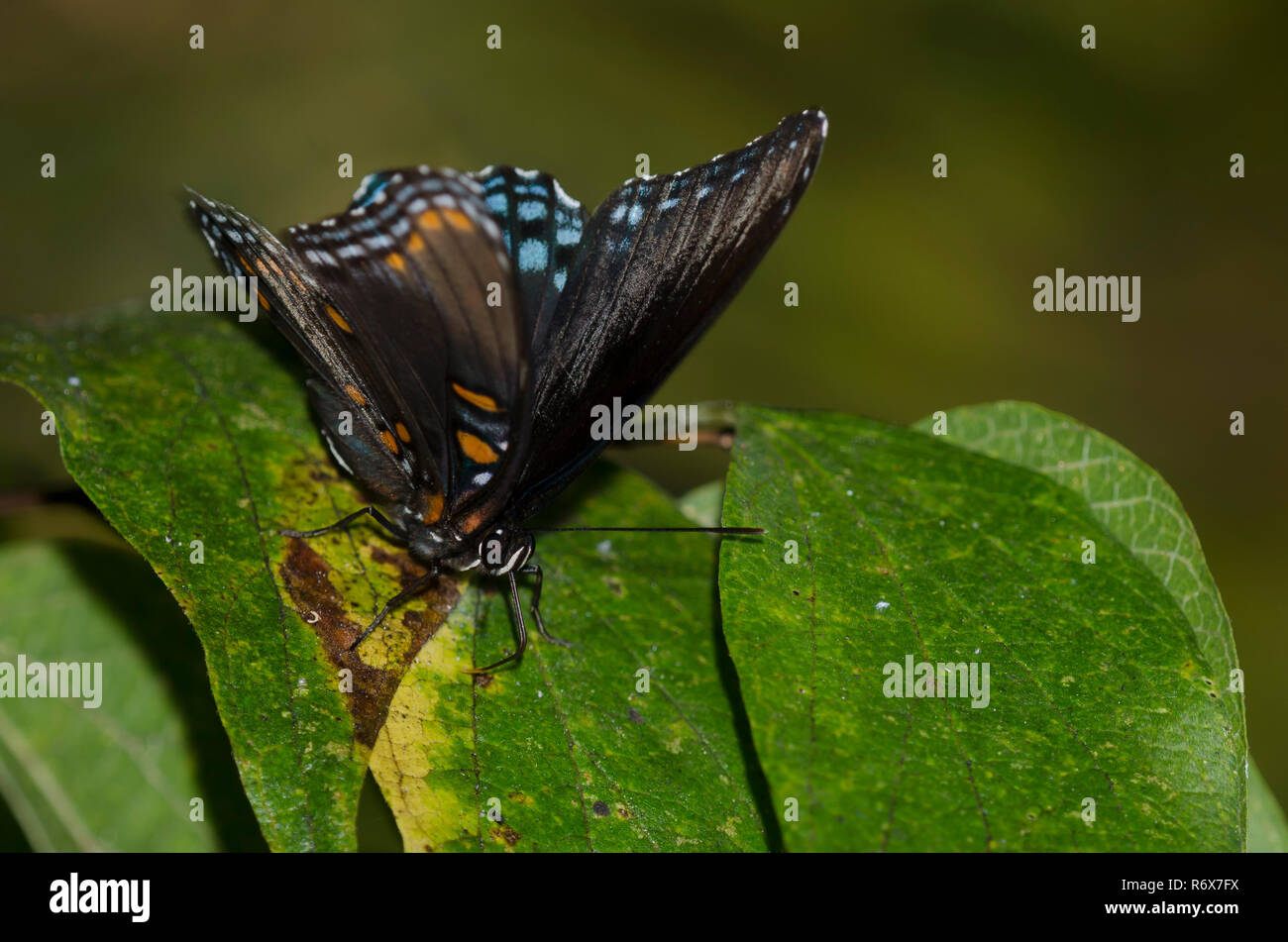 Red-spotted Purple, Limenitis arthemis astyanax, probing leaves of sugarberry, Celtis laevigata - Stock Image
