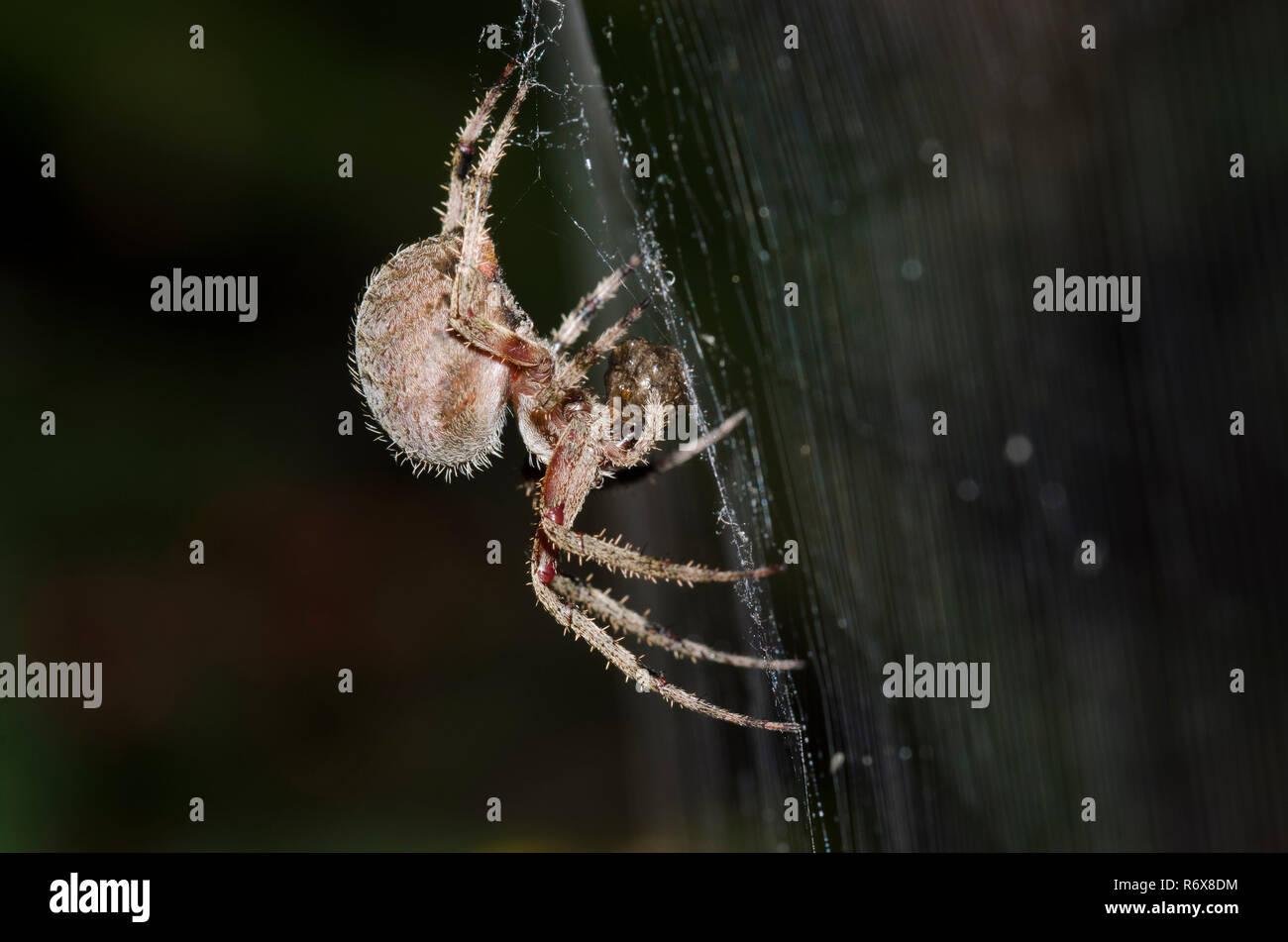 Spotted Orbweaver, Neoscona sp., with prey - Stock Image