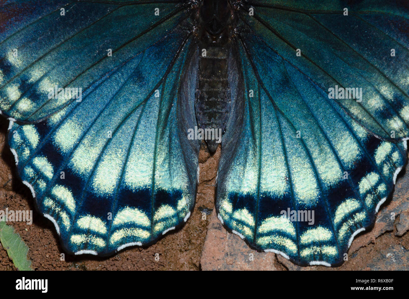 Red-spotted Purple, Limenitis arthemis astyanax, wing detail - Stock Image