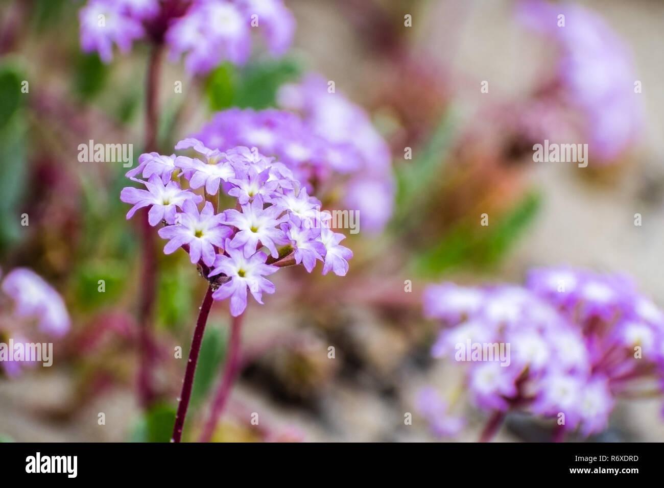 Pink Sand Verbena Abronia Umbellata Wildflowers Blooming On The