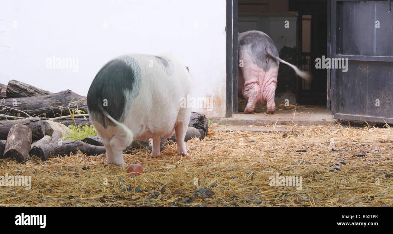 Pig in farm Stock Photo