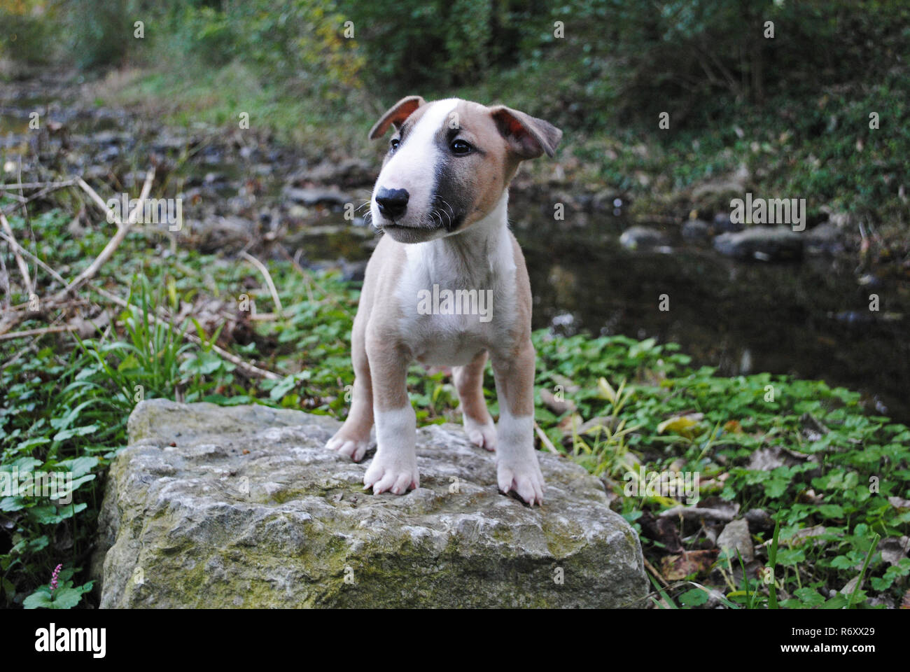 english bull terrier puppy standing on a rock - Stock Image