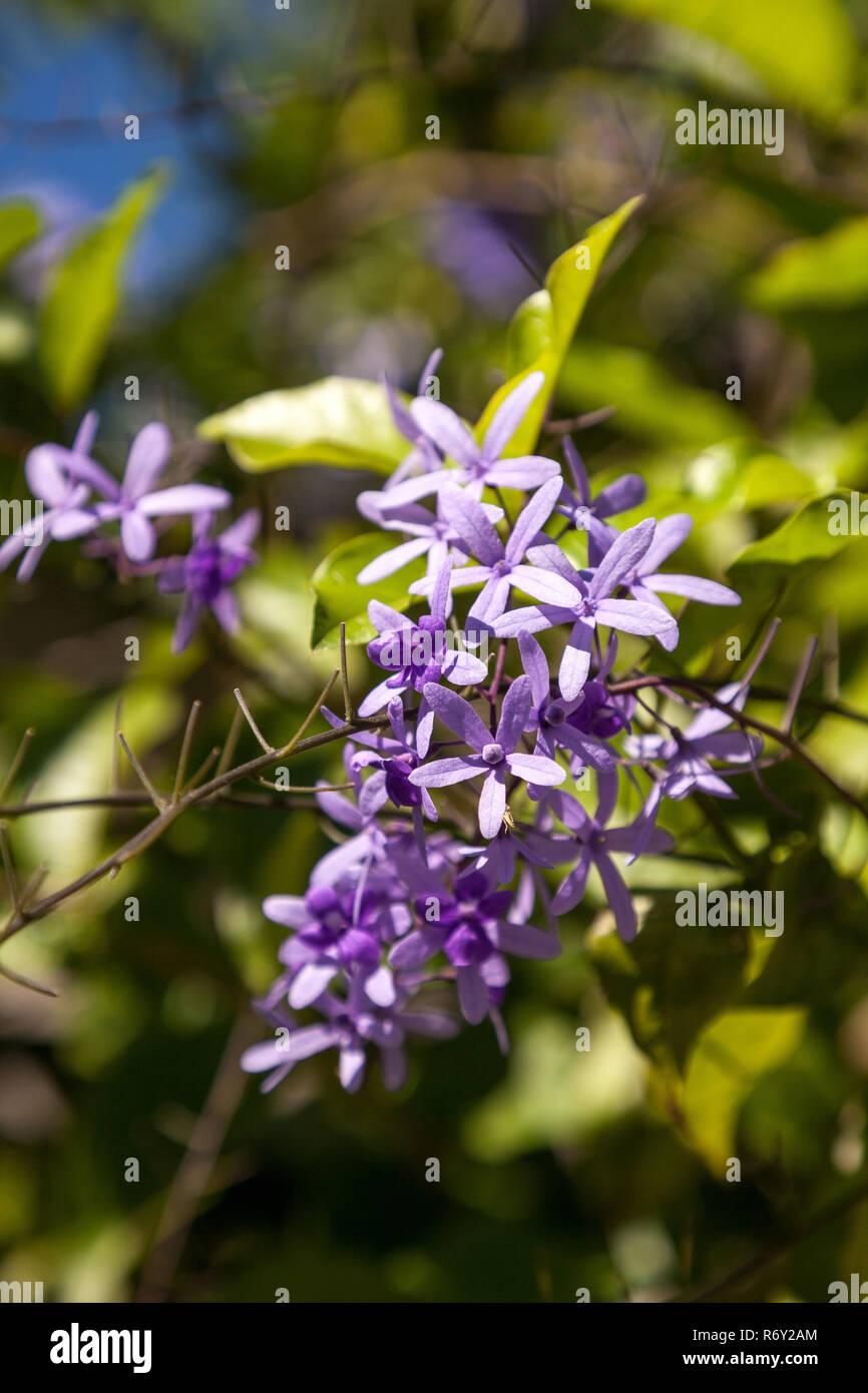 Purple flowers known as queen's wreath Petrea volubilis - Stock Image