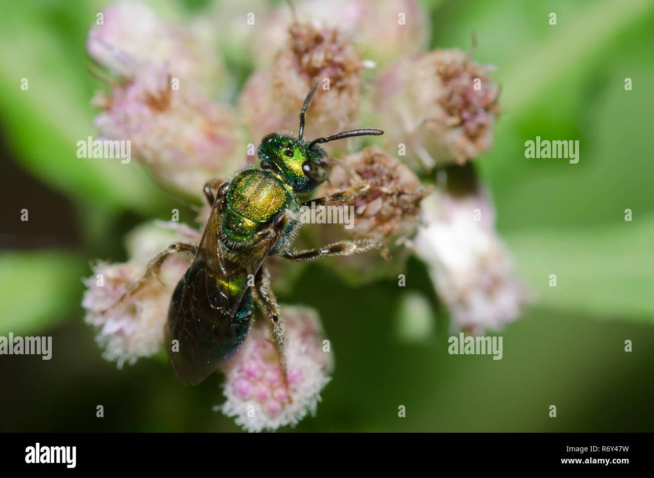 Pure Green Augochlora, Augochlora pura, a type of sweat bee, on Saltmarsh Fleabane, Pluchea odorata - Stock Image