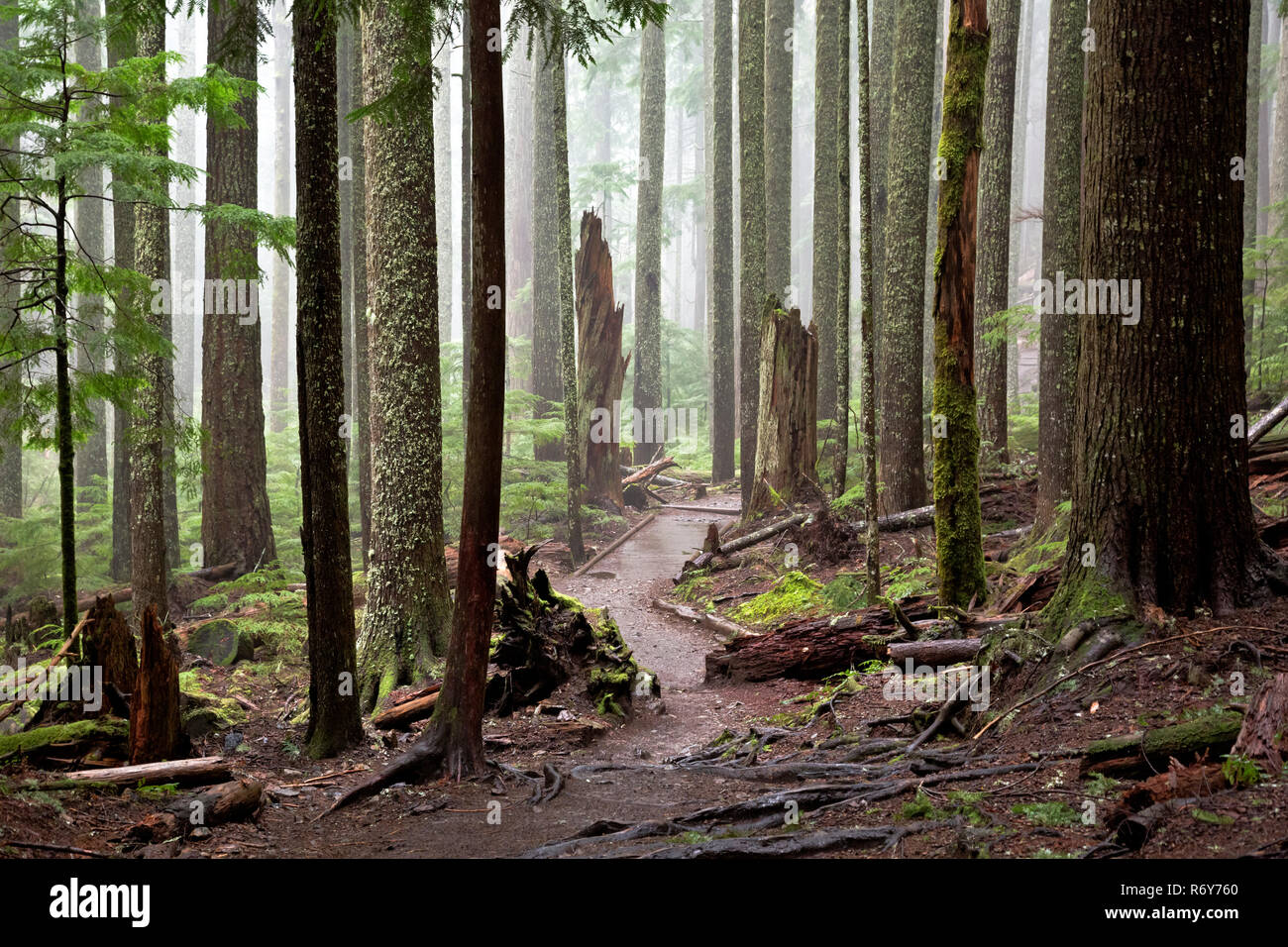 WA15448-00...WASHINGTON - Damp and foggy morning in the fog shrouded forest on the Mount Si Trail near North Bend. - Stock Image