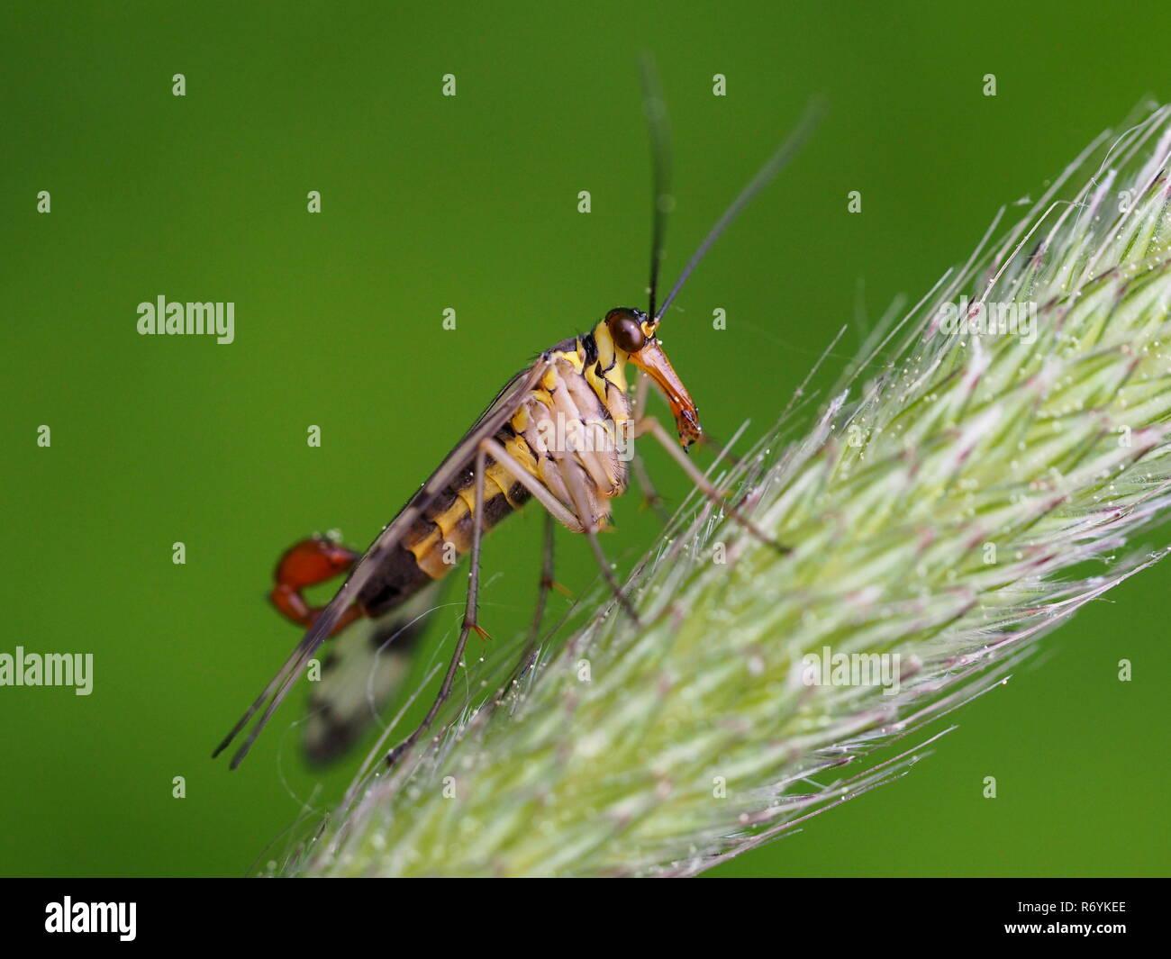 skorpionsfliege - Stock Image