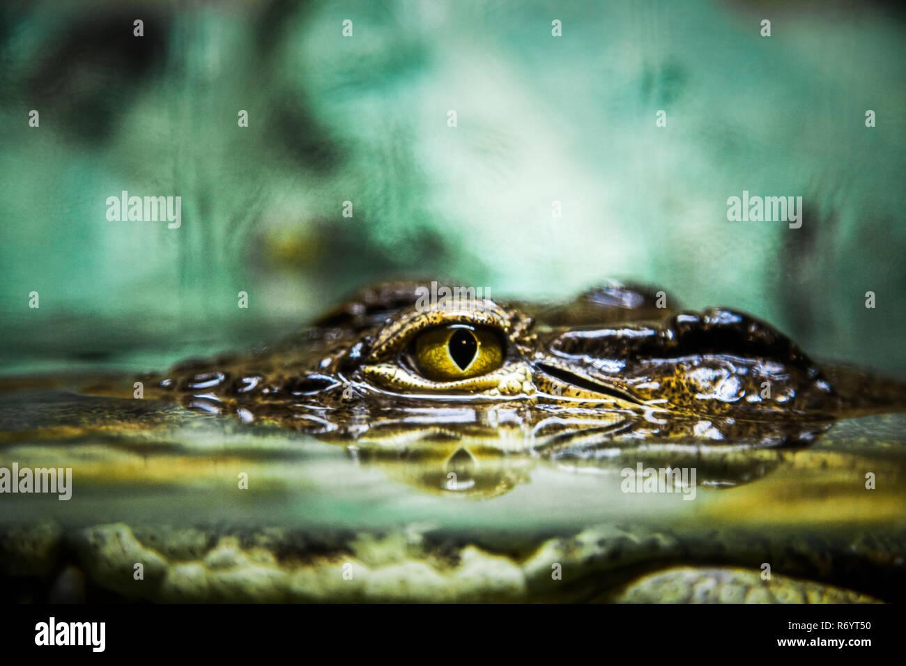 Eye of a crocodile - Stock Image