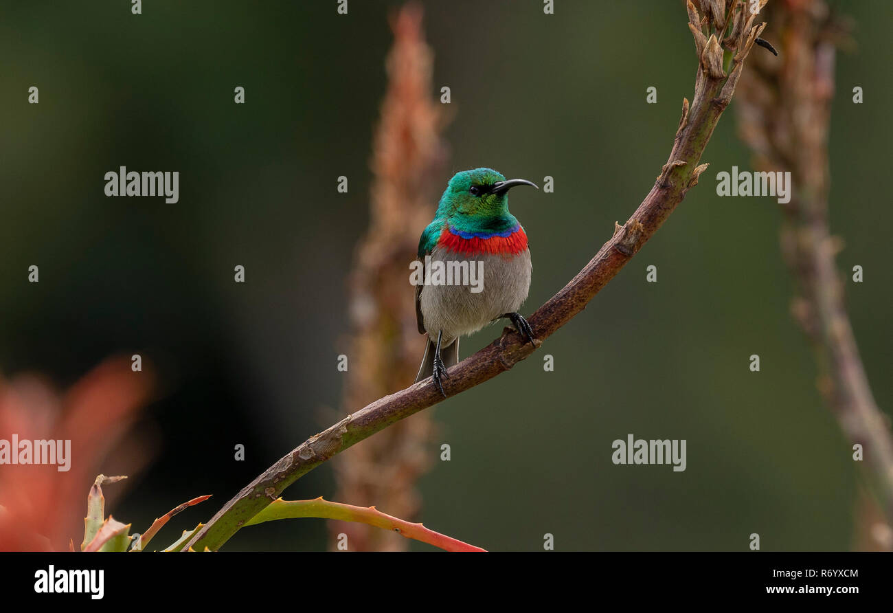 Southern double-collared sunbird, Cinnyris chalybeus,  perched on succulent. Cape, South Africa. - Stock Image